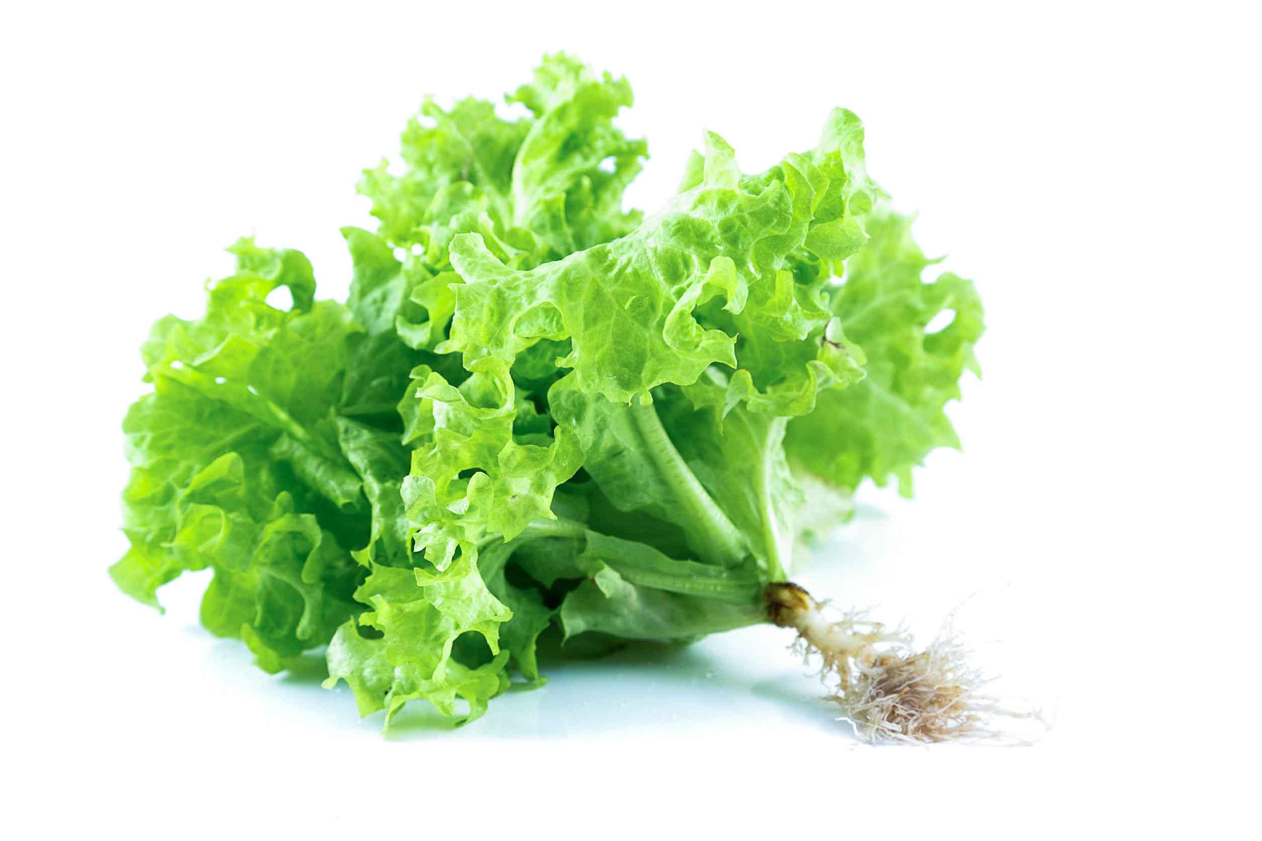 ผักกาดหอม เป็นผักที่นิยมบริโภคมากที่สุดในบรรดาผักสลัด รับประทานสด ๆ